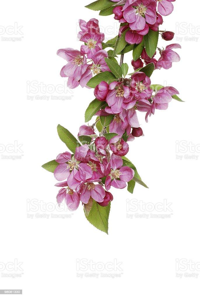Isolato fiori di Melo selvatico foto stock royalty-free