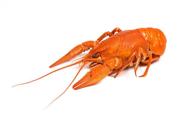 isolated crayfish #1 stock photo