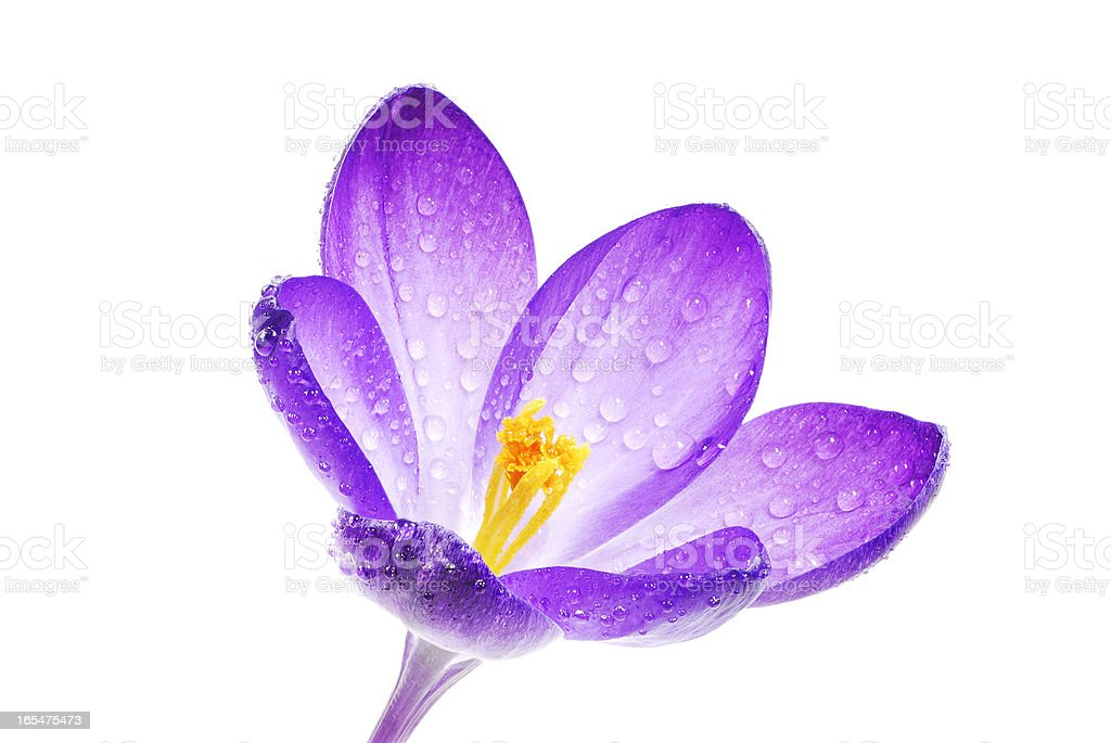 Isolated Crocus Blossom royalty-free stock photo