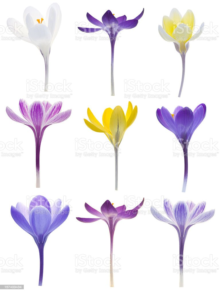 Isolated Crocuses stock photo