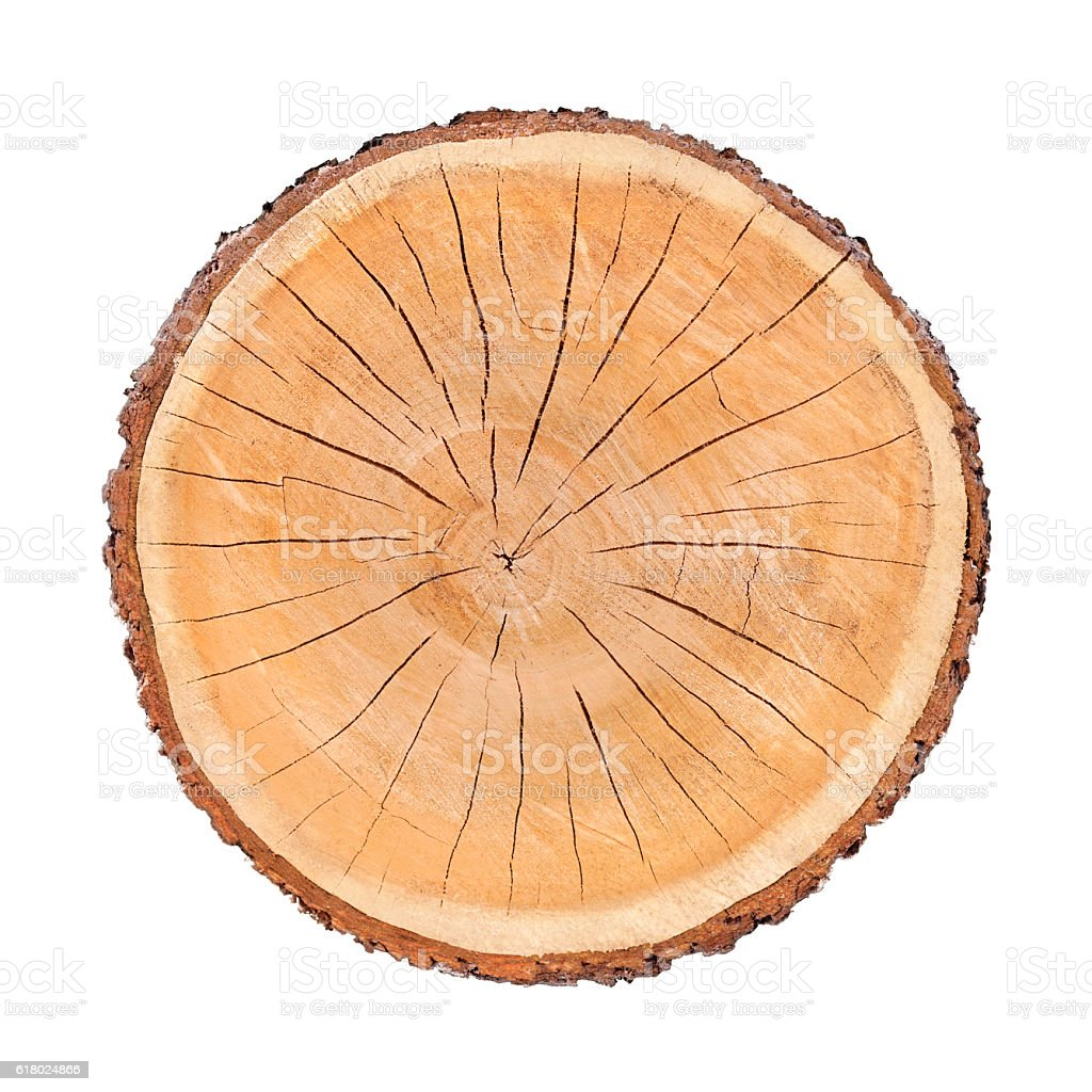 isolated cut wood tree stump slice with cracks and rings