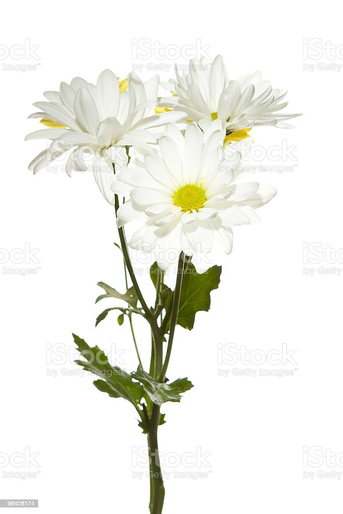 Isolated Daisies on White Background royalty-free stock photo