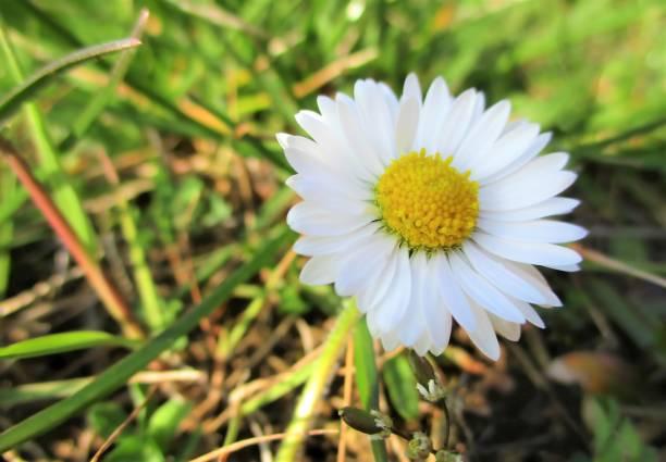 geïsoleerde daisy in het gras - madeliefje stockfoto's en -beelden