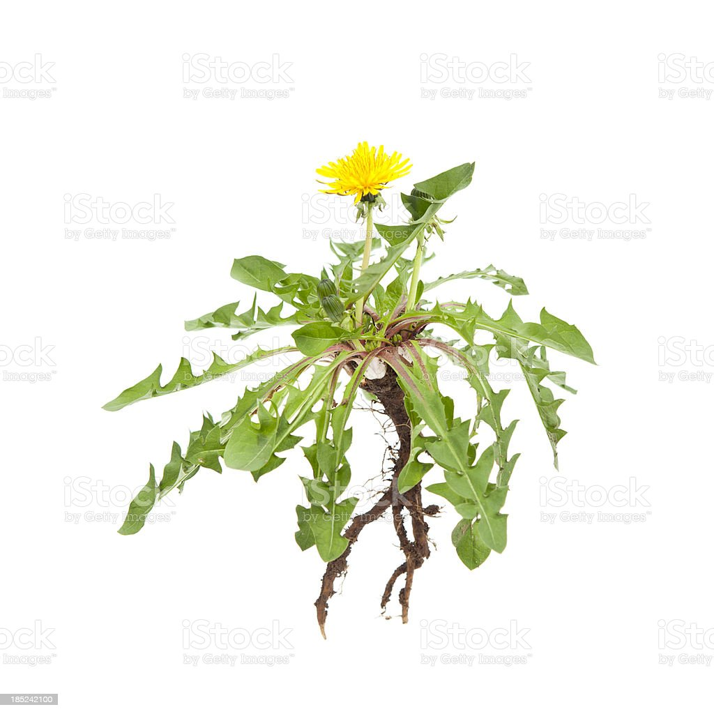 Isolated Dandelion royalty-free stock photo