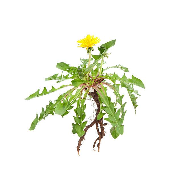 isolated dandelion - wieden stockfoto's en -beelden