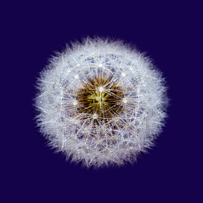 Isolated Dandelion sead head with dew drops, on purple.