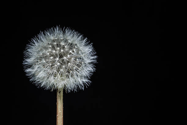 Isolated Dandelion seed head on a black background – Foto