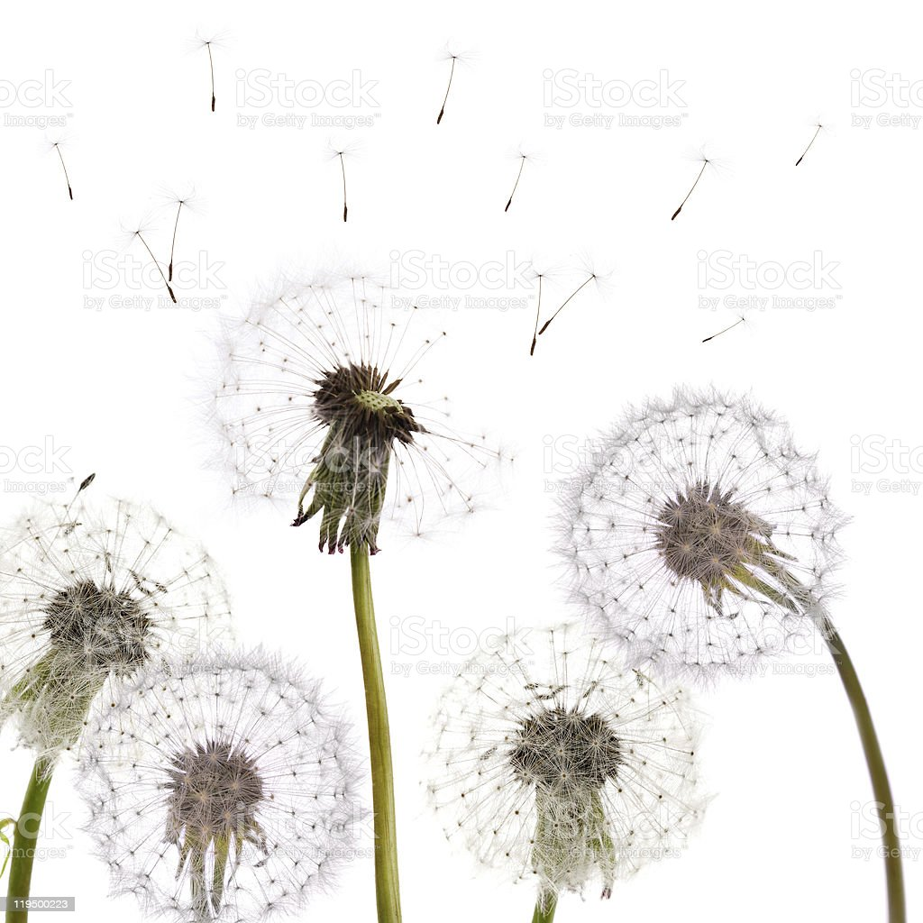 Isolated dandelions blowing in wind royalty-free stock photo