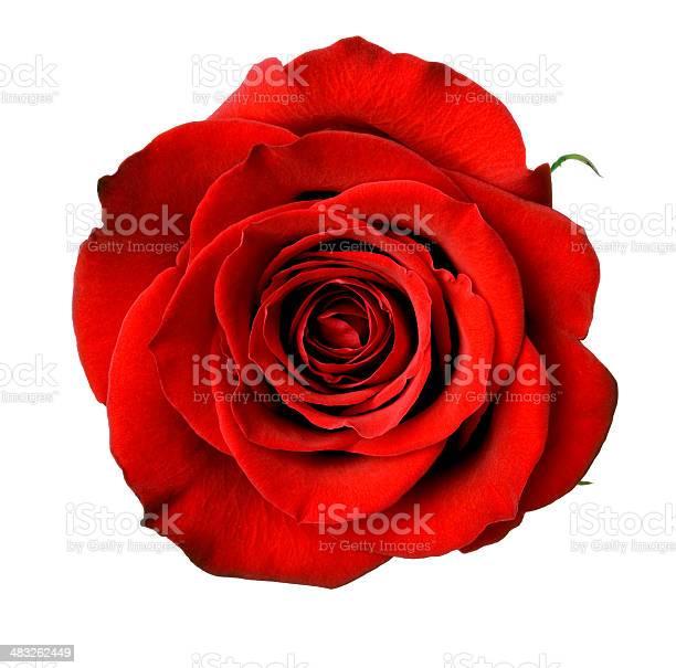 Isolated dark red rose picture id483262449?b=1&k=6&m=483262449&s=612x612&h=xkvwo02d1mfq3rsbujckfcifd0 6iivdtrfqs3beo8k=