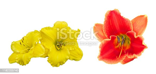 Isolated daylily flowers on a white background. Yellow and Orange Red