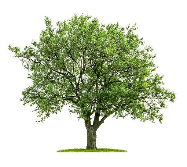 Árvore de folha caduca, isolado em um fundo branco - foto de acervo