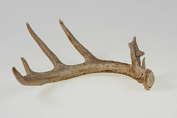 isolated deer antler - antlers stock photos and pictures