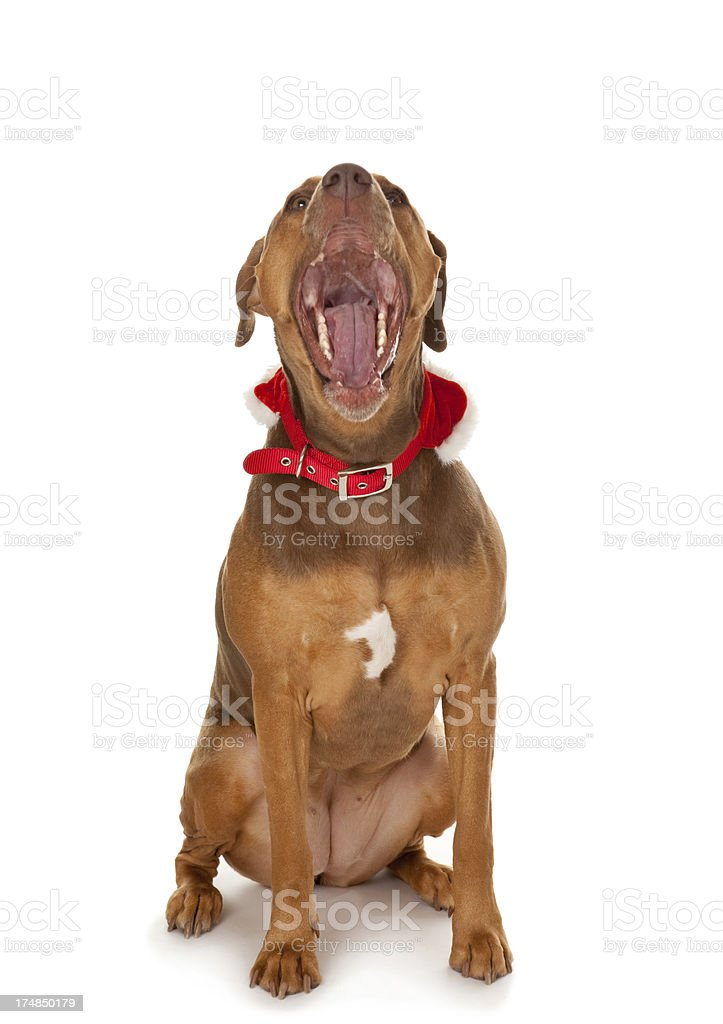 Isolated Dog With Mouth Wide Open royalty-free stock photo