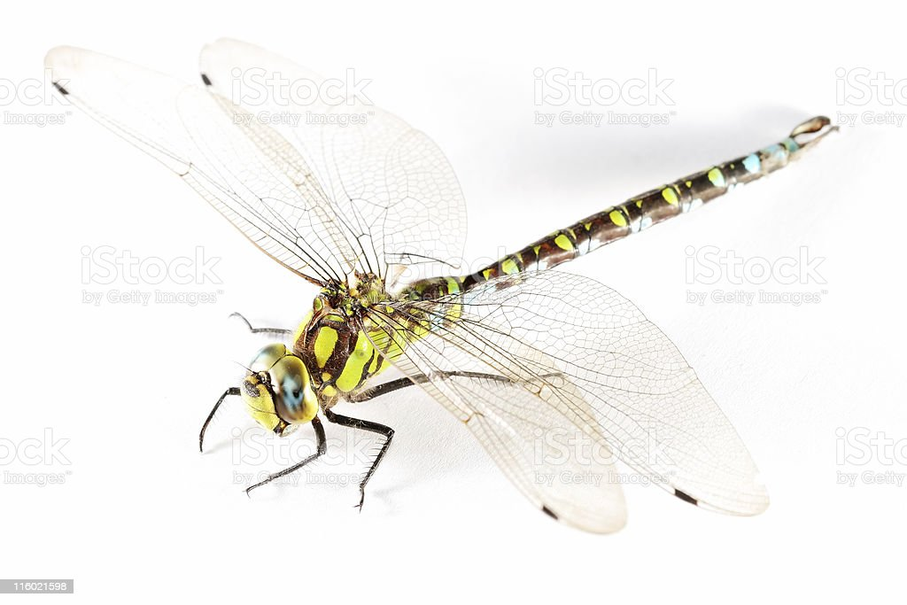 Isolated dragonfly 01 royalty-free stock photo