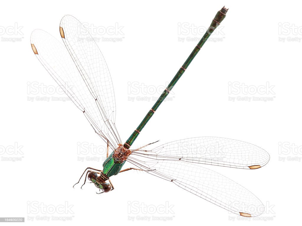 Isolated Dragonfly stock photo