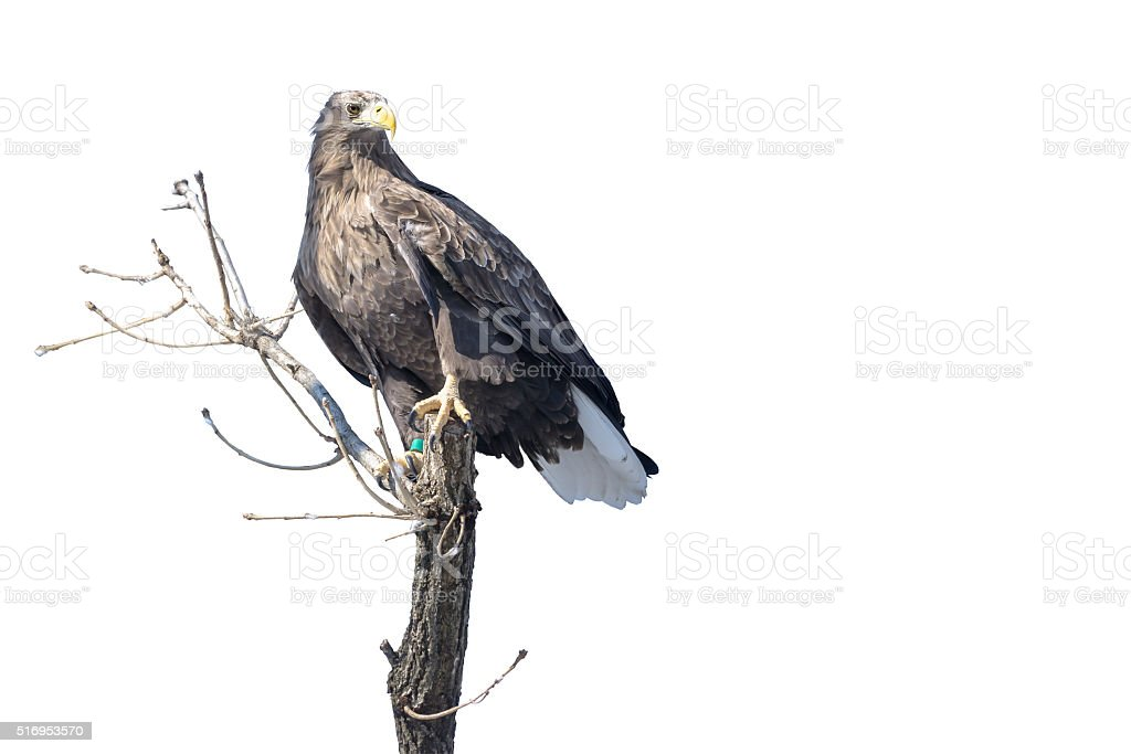 Isolated Eagle landing on a tree branch stock photo