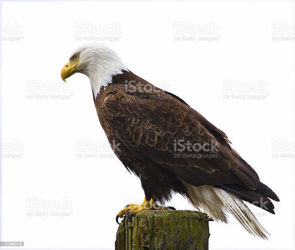 Isolé eagle - Photo