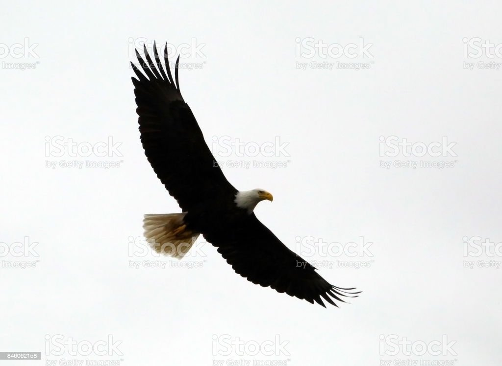 Isolated Eagle stock photo