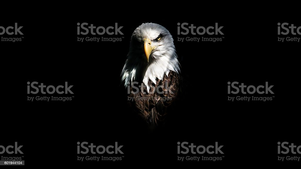 Isolated Eagle Stare - foto stock