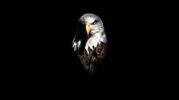 isolated eagle stare - eagle stock photos and pictures