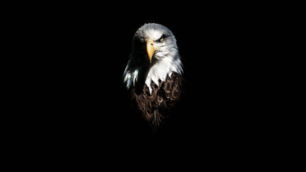 Isolated Eagle Stare - Photo