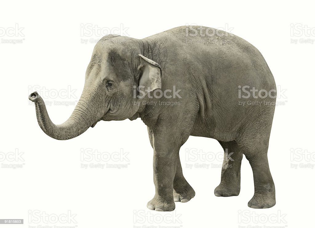 royalty free elephant white background pictures images