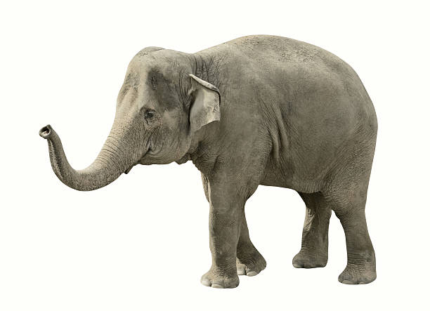 Isolated elephant with path Isolated on white elephant with clipping path animal trunk stock pictures, royalty-free photos & images