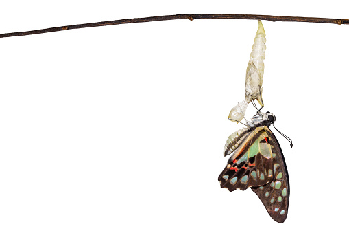 istock Isolated emerged Common jay butterfly ( Graphium doson)  with pupa and shell hanging on twig 1094755584