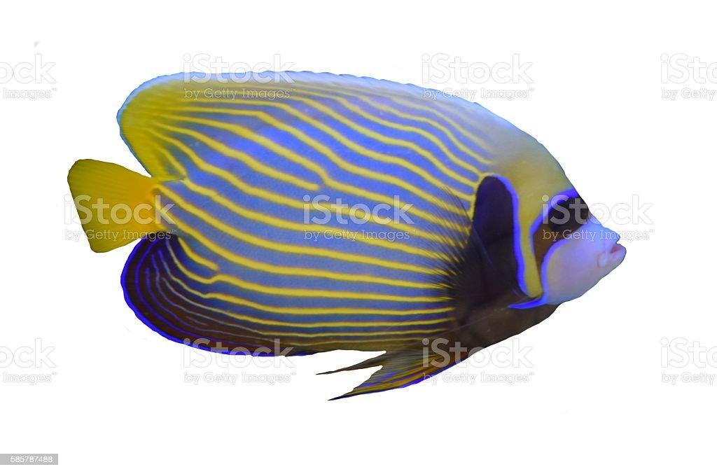 isolated emperor anglefish tropical stripe fish white background stock photo