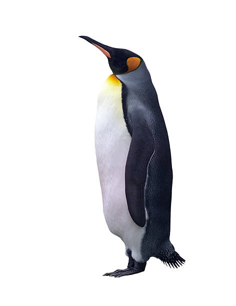 Isolated emperor penguin  emperor penguin stock pictures, royalty-free photos & images