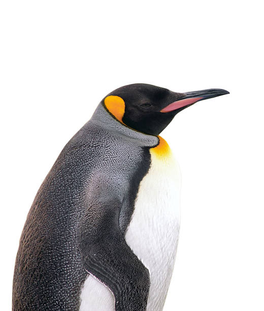 Isolated emperor penguin with clipping path Emperor penguin isolated on white with clipping path emperor penguin stock pictures, royalty-free photos & images