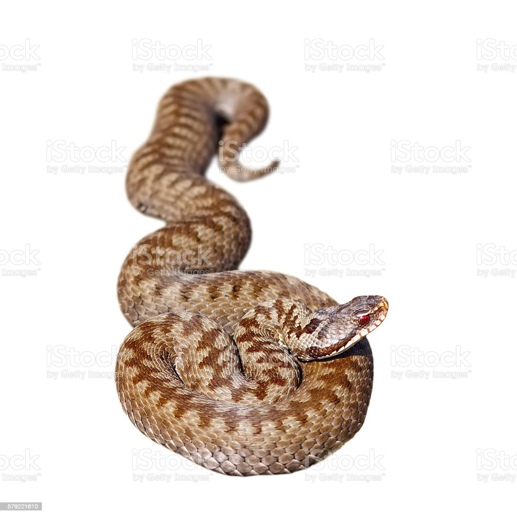 isolated european common adder stock photo