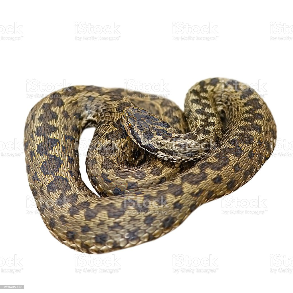 isolated european meadow adder stock photo