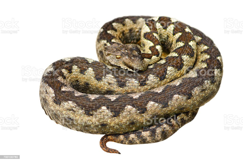isolated european venomous snake, nose horned viper stock photo
