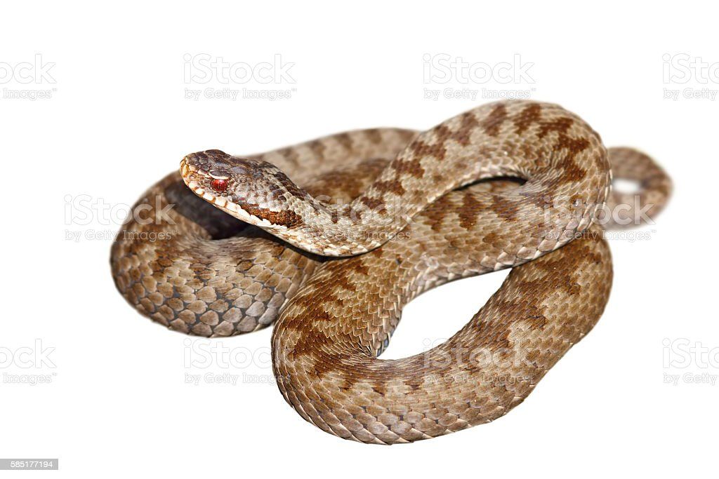 isolated european venomous snake stock photo