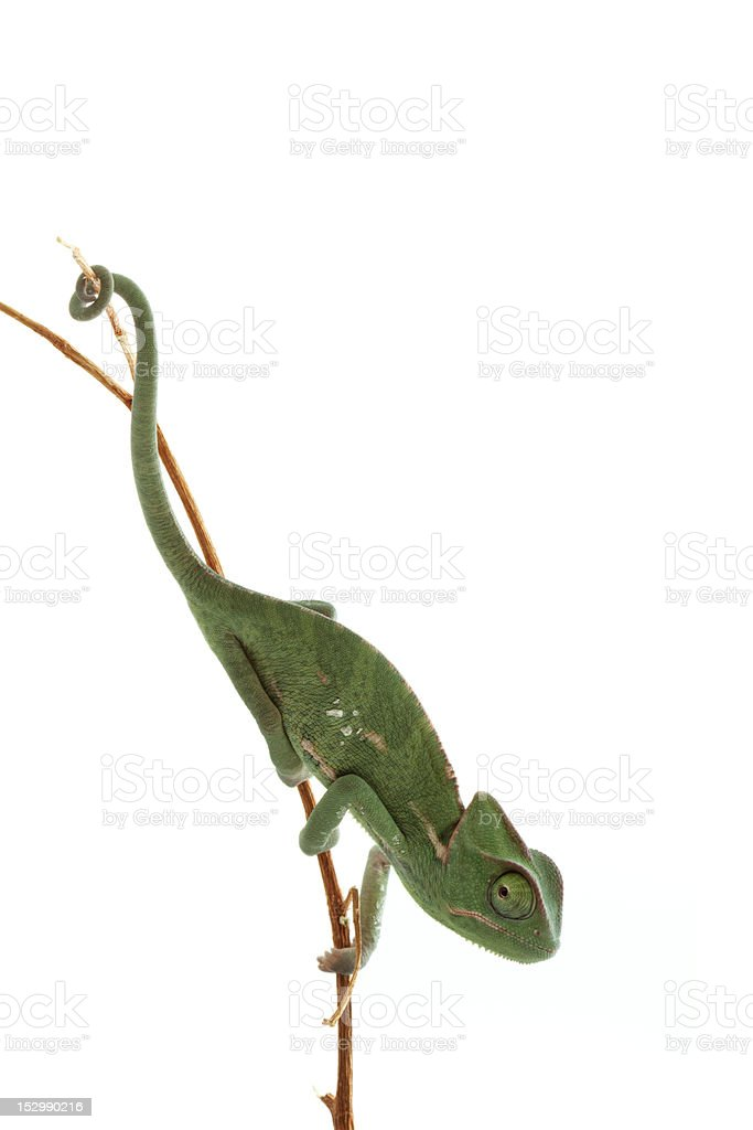 Isolated exotic pet green chameleon royalty-free stock photo