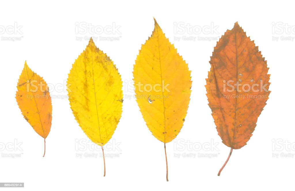 isolated fall leaves on white background. natural scanned autumn yellow leaves set stock photo