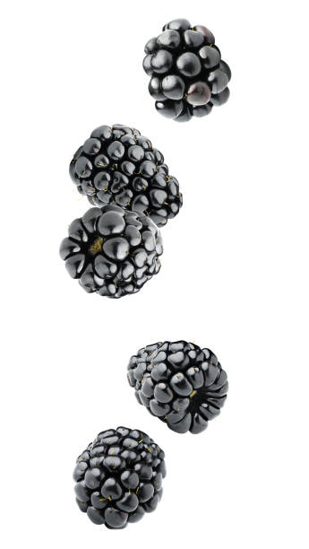 Isolated falling blackberries Isolated berries. Five falling blackberry fruits isolated on white background with clipping path blackberry fruit stock pictures, royalty-free photos & images