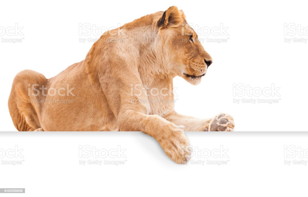 Isolated female lion on white background with paw hanging over blank sign for copy. stock photo