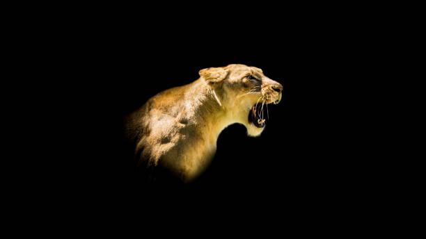 Dişi aslan Head-shot kükreyen izole stok fotoğrafı