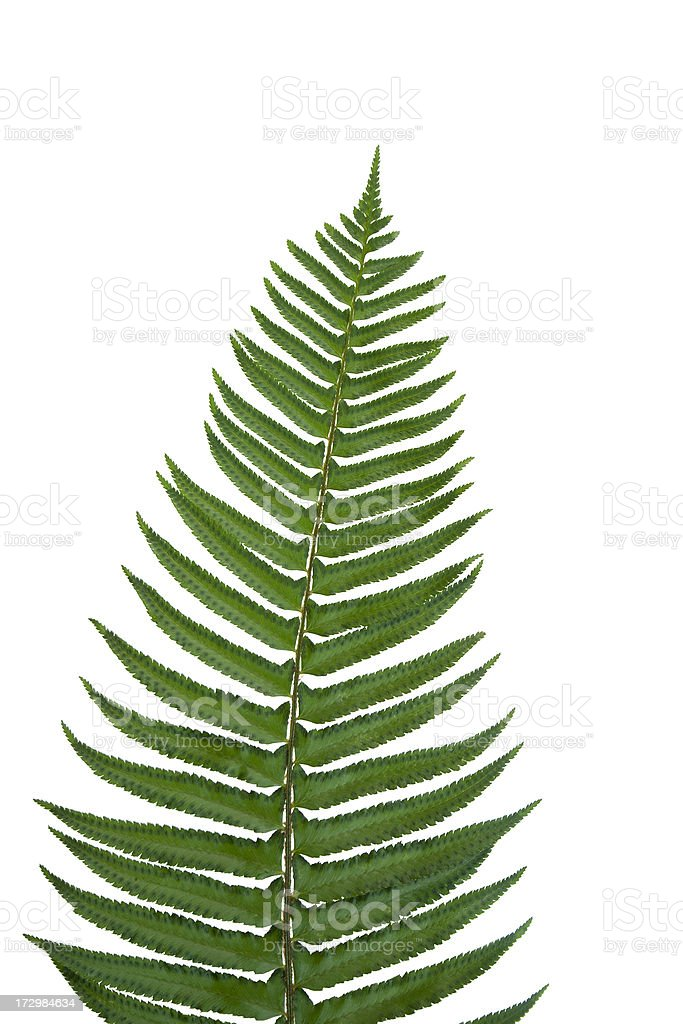 isolated fern frond royalty-free stock photo