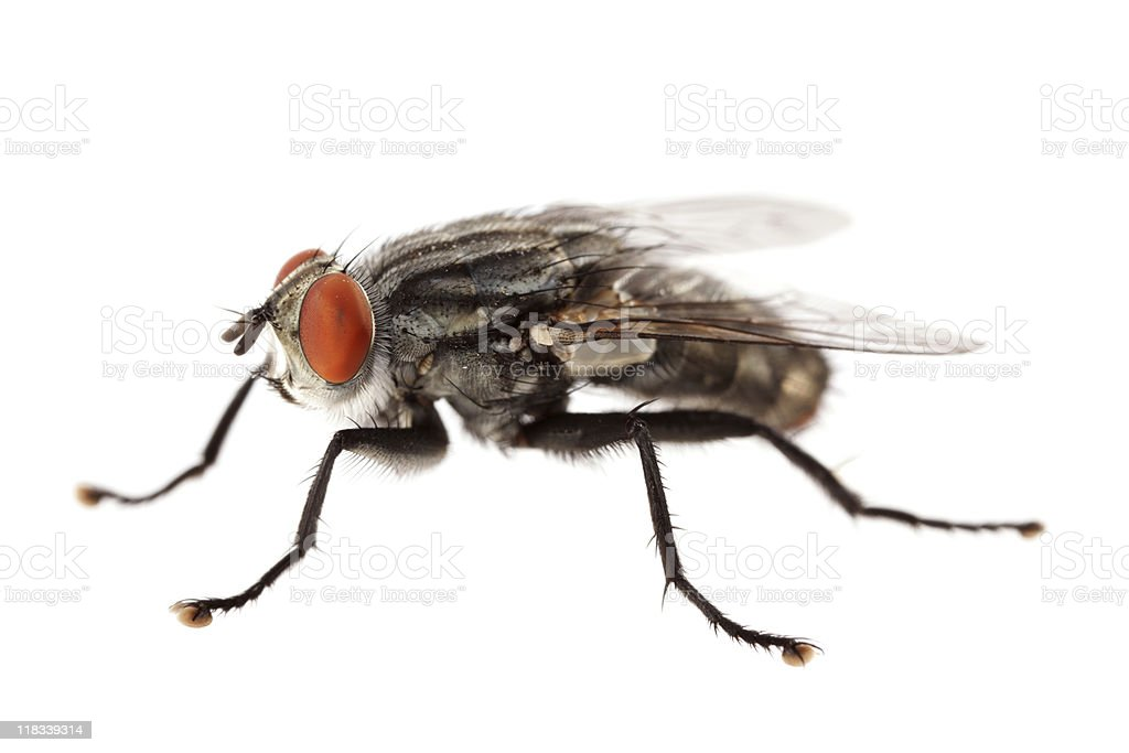 Isolated flesh fly (XXXL) royalty-free stock photo