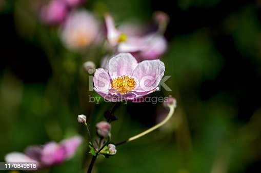 istock isolated flower named Chinese anemone or Japanese anemone, thimbleweed, or windflower, nice blurred background 1170849618