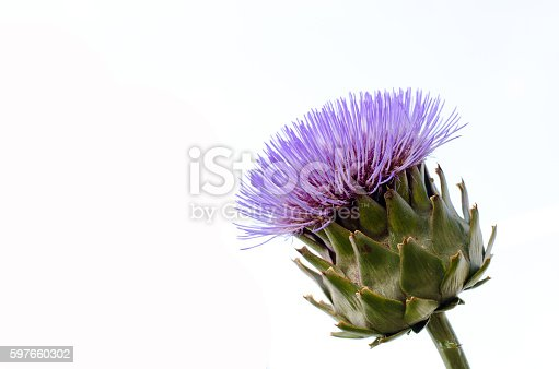 Isolated flowering artichoke