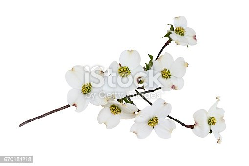Flowering dogwood blossoms and branch isolated against a white background. Clipping path included.