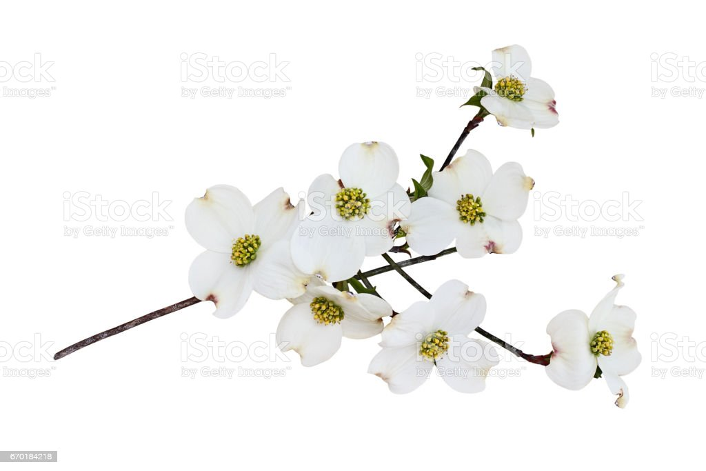 Isolated Flowering dogwood blossoms stock photo