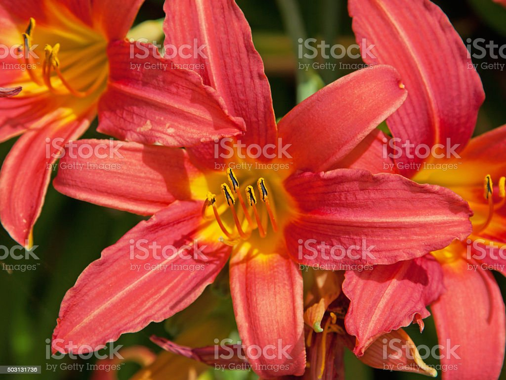 Isolated flowering pink Day Lily plant ( Hemerocallis ) stock photo