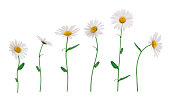 Group of golden daisies isolated on white.
