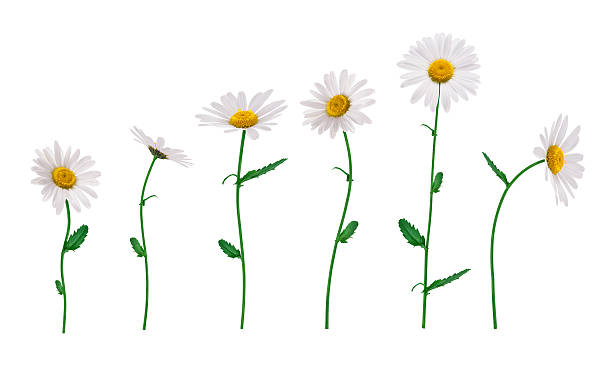 Isolated Flowers Group of golden daisies isolated on white. plant stem stock pictures, royalty-free photos & images