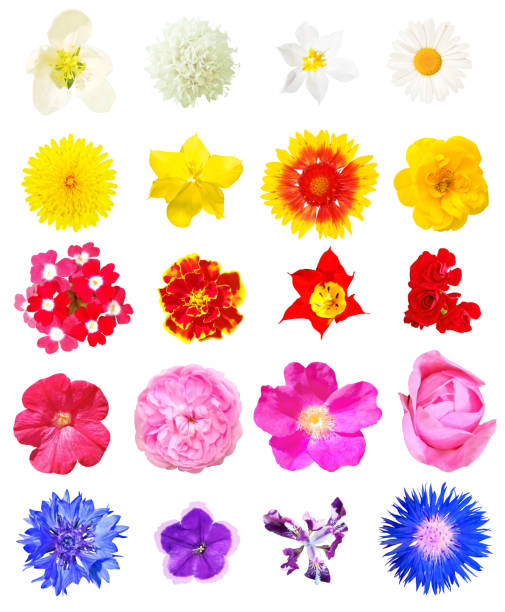 Isolated flowers set picture id977666564?b=1&k=6&m=977666564&s=612x612&w=0&h=gufx8ikczrwcnco  32zzi9oqsyjy8kbxhlvc5 pygm=